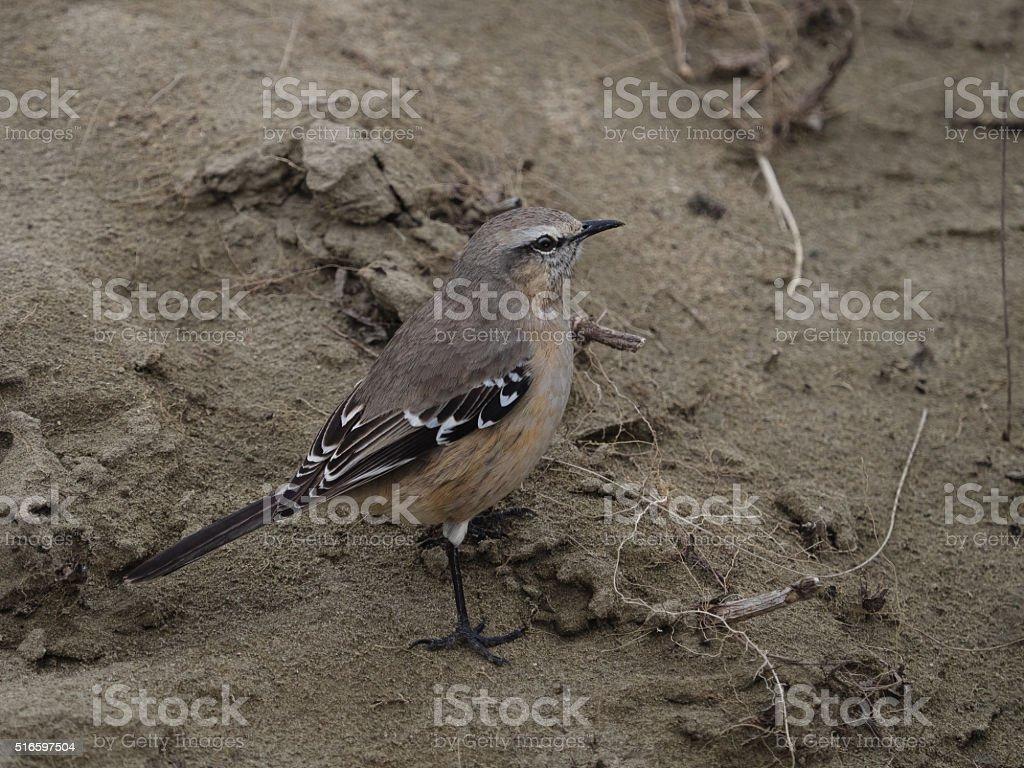 Patagonian Mocking Bird stock photo
