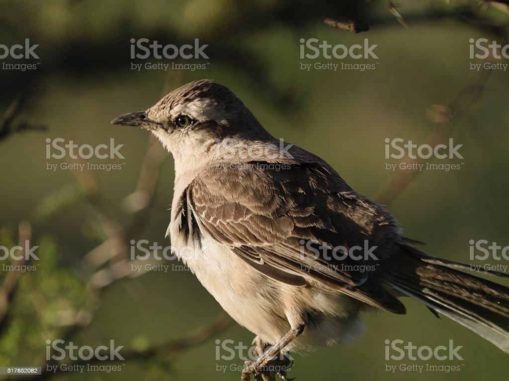 Patagonian Mockingbird (Calandria Mora) stock photo