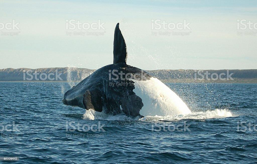 Antar Wieloryb Skoki wysoki zbiór zdjęć royalty-free