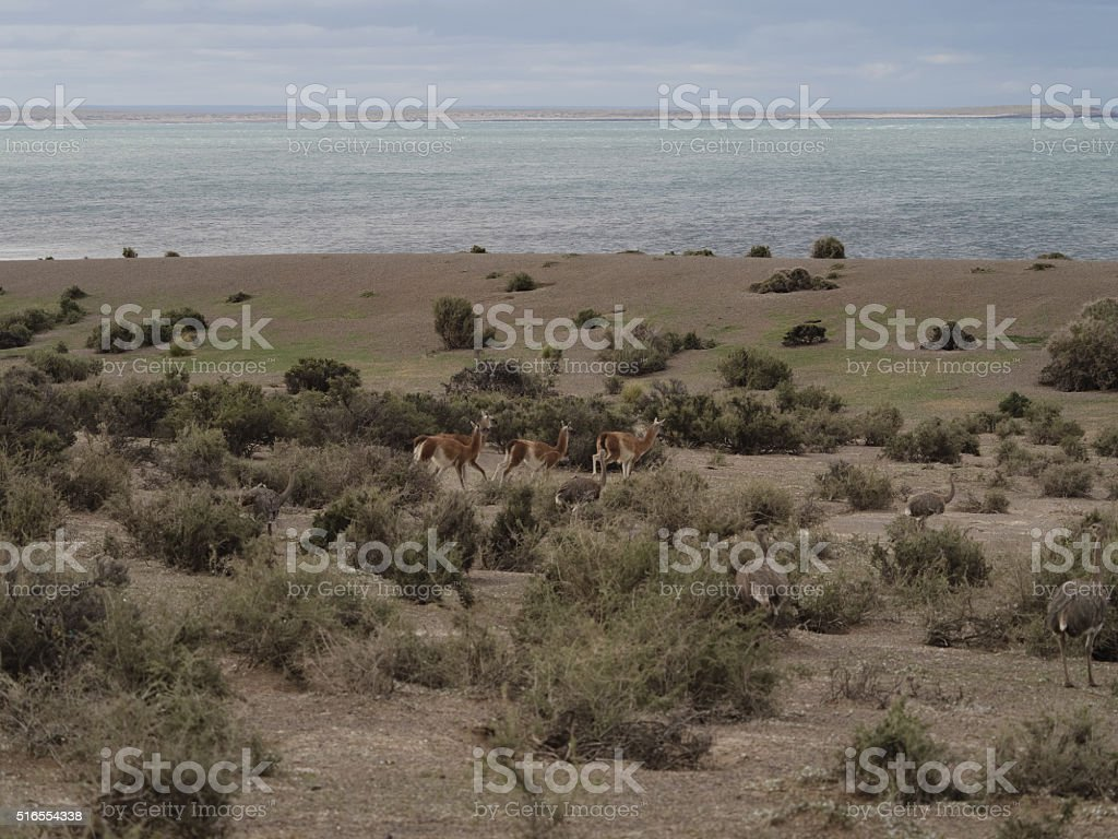Patagonian wildlife. Guanaco and Rhea stock photo