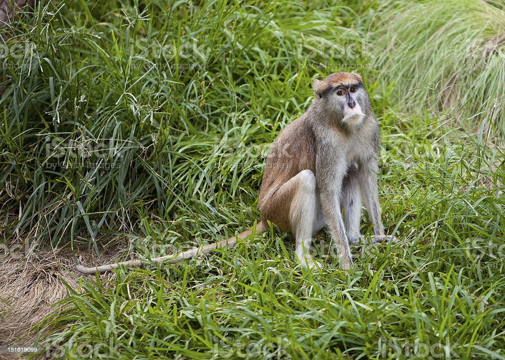 Patas Monkey looking forlorn stock photo