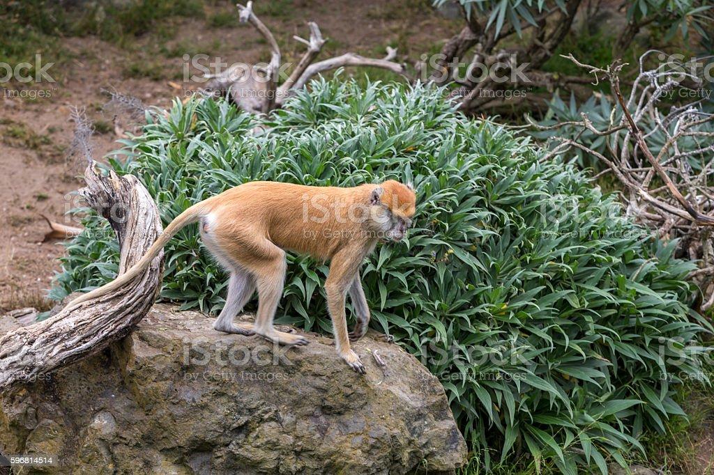 Patas monkey on a rock stock photo