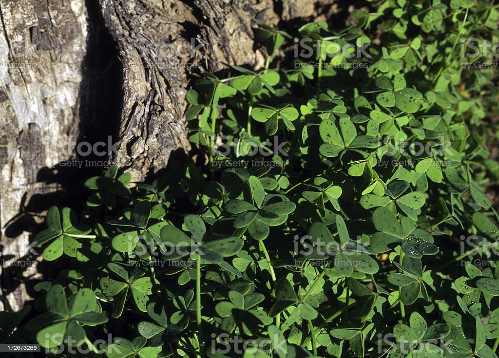 Patch of clover stock photo
