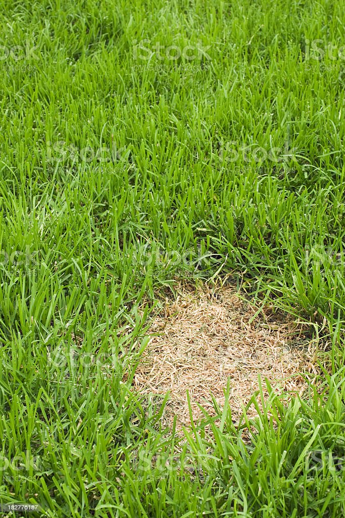 Patch of dead grass royalty-free stock photo