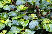 patchouli plant after rain