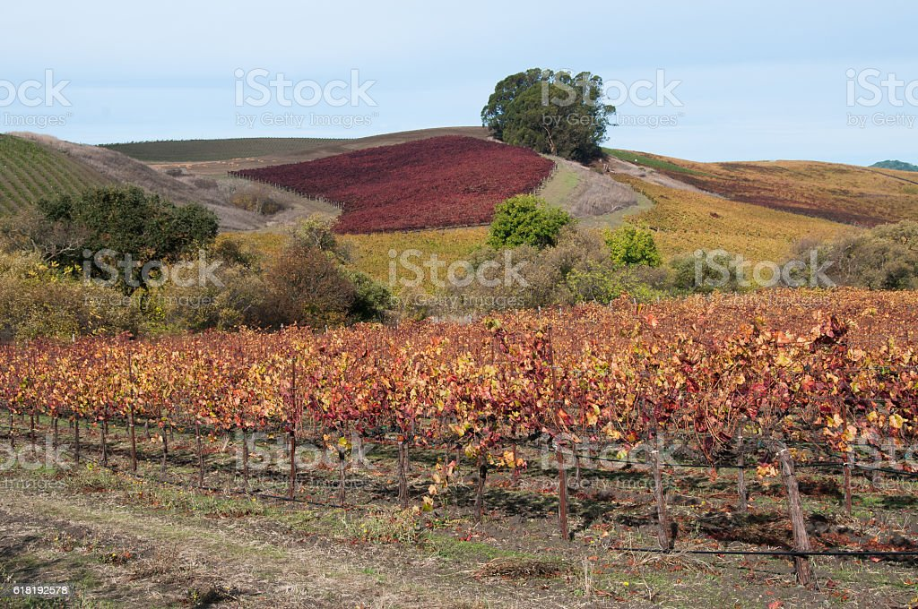 Patchwork of colorful grape vines on hillside stock photo
