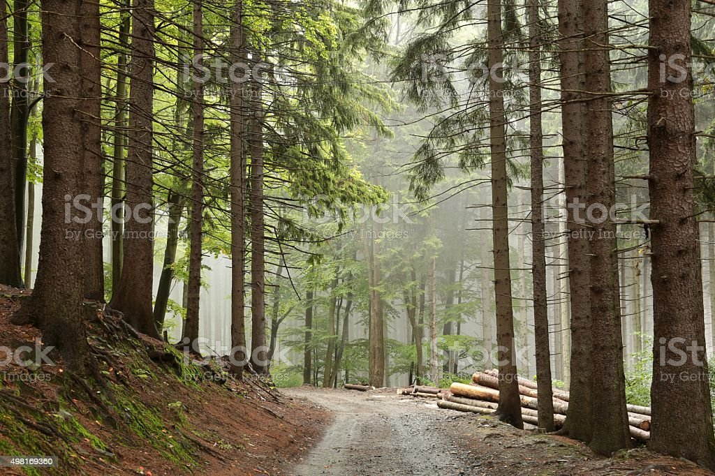 Path along the spruce trees stock photo