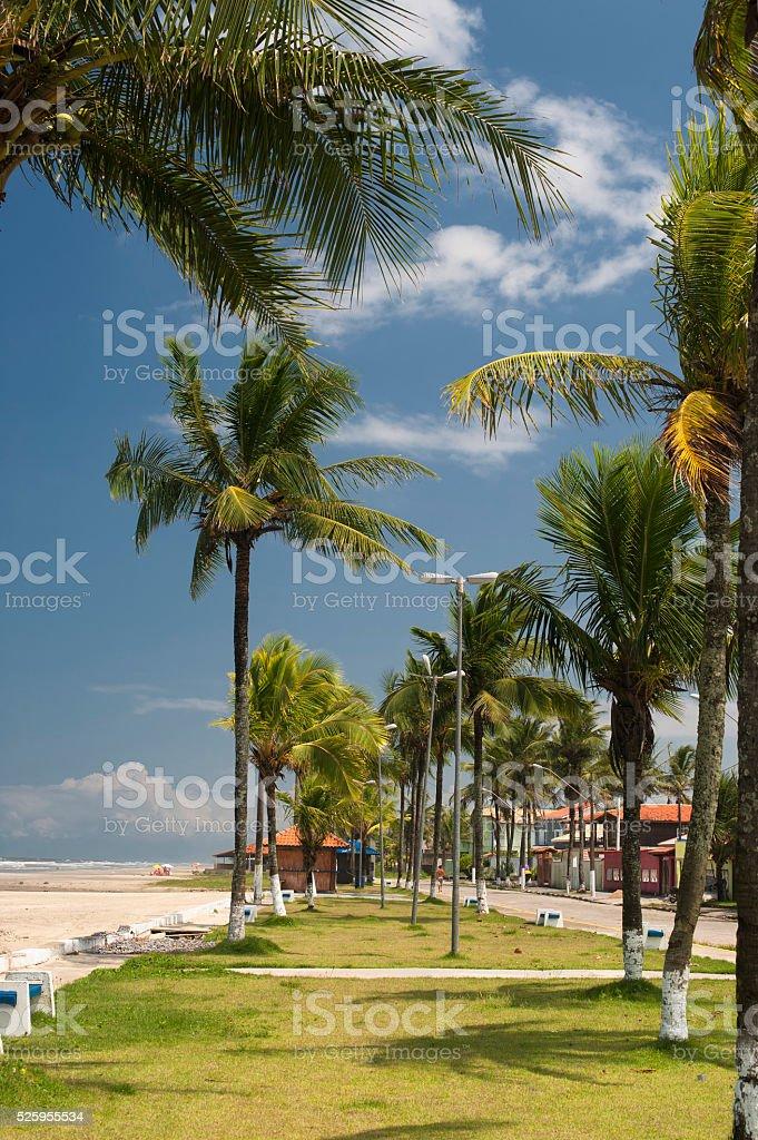 Path Between Coconut Trees stock photo