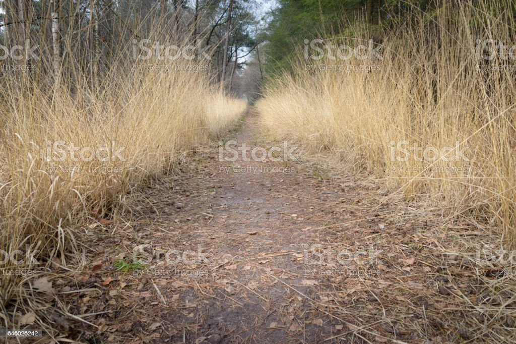 Path between golden colored grass giving great perspective in the forest stock photo