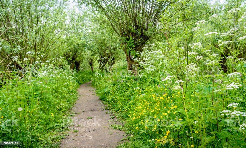Path between pollard willow trees in springtime stock photo
