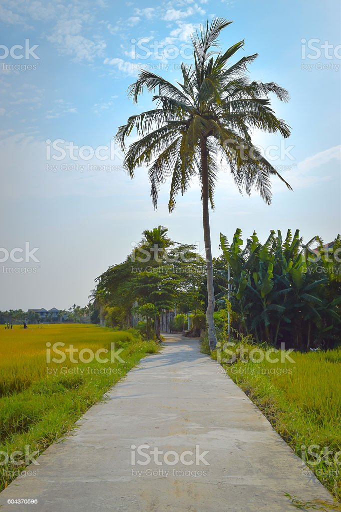 Path between rice fields in Hoi An stock photo