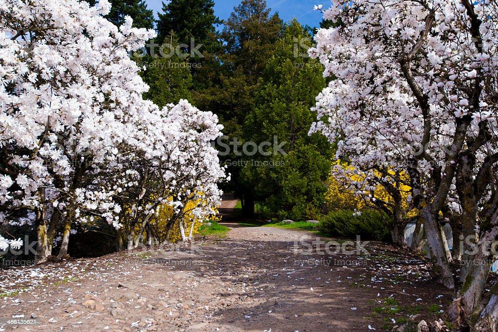 Percorso tra alberi in fiore di primavera foto stock royalty-free