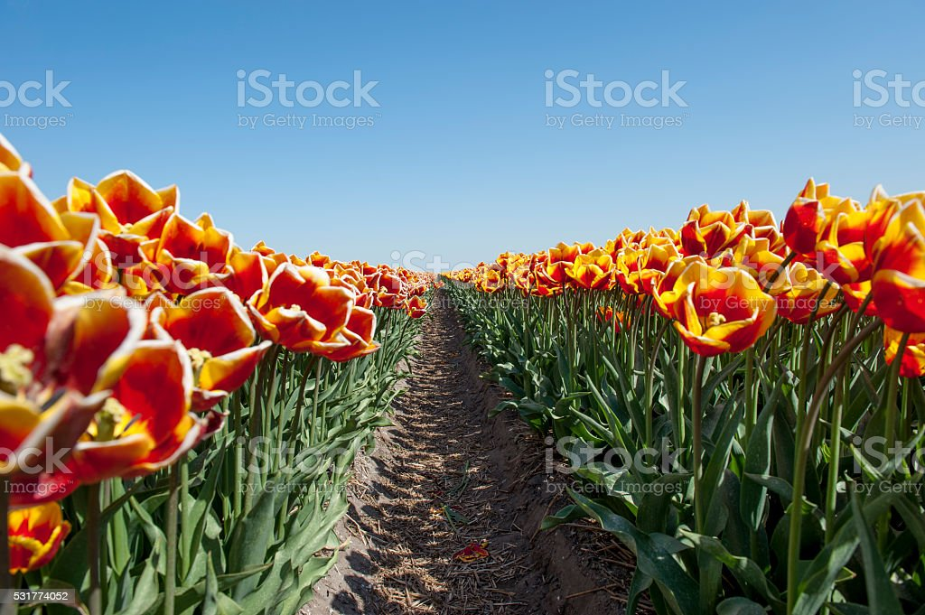 Path in a flower field with orange tulips stock photo