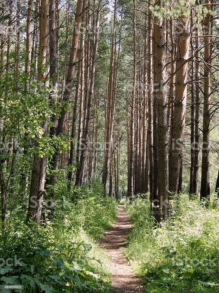 path in a pine forest. stock photo