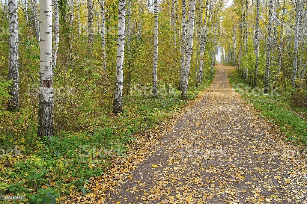 Path in autumn birch grove royalty-free stock photo