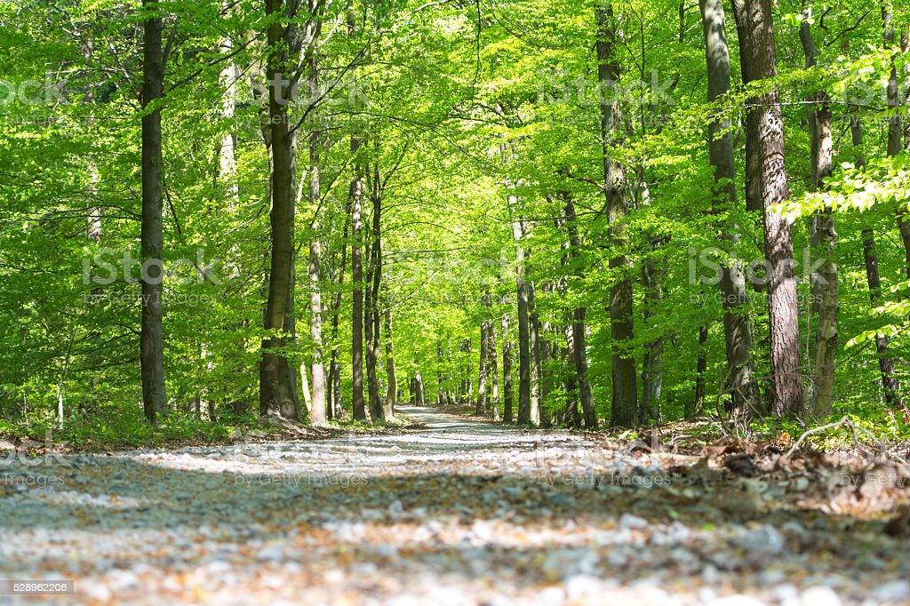 Path in forrest in spring time with green leafs stock photo