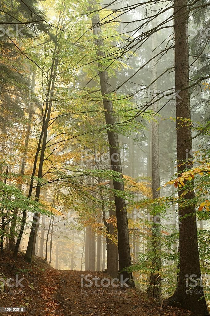 Path in misty autumn forest royalty-free stock photo