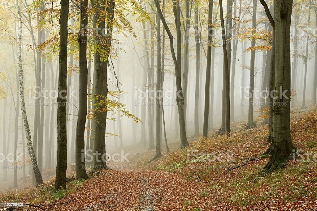 Path in misty beech forest royalty-free stock photo