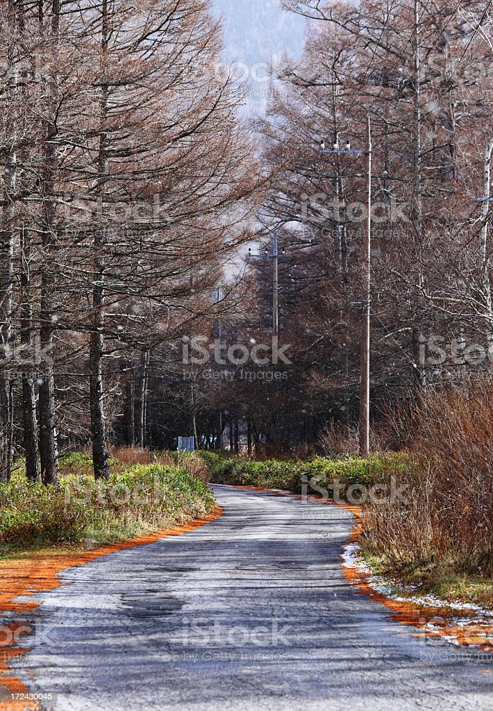 path in Pinaceae forest royalty-free stock photo