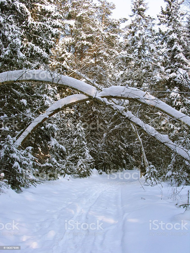 Path in snow between fir trees under tree trunks arch stock photo
