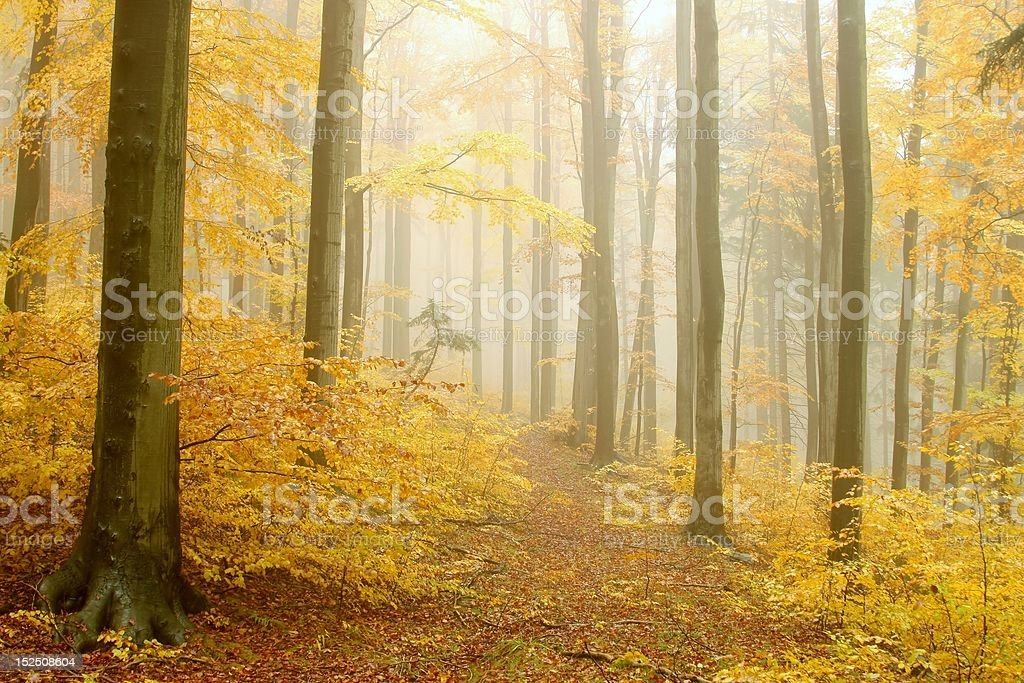 Path in the misty beech forest royalty-free stock photo