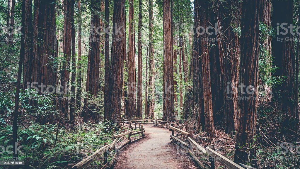 Path in the Redwoods stock photo