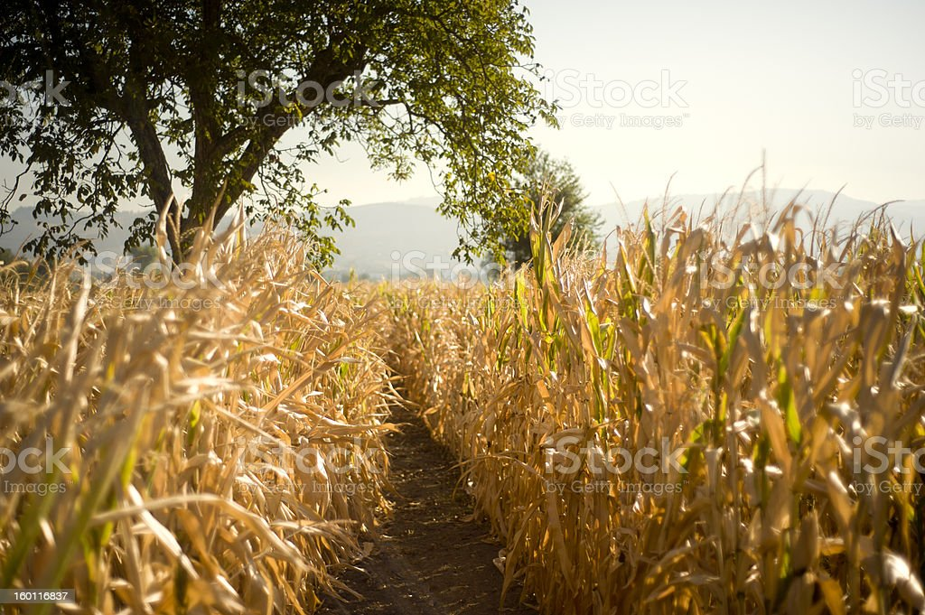 Path of maize royalty-free stock photo