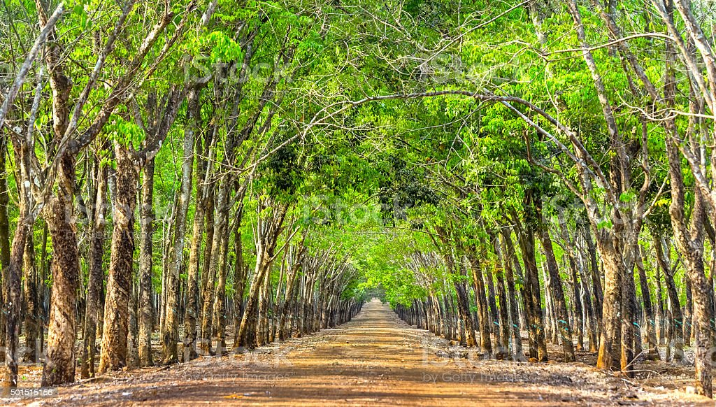 Path rubber forests so beautiful stock photo