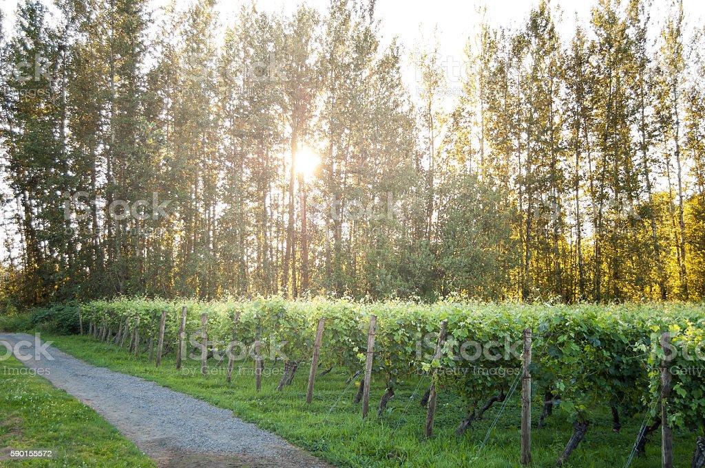 Path runs next to grape vines in morning sun stock photo