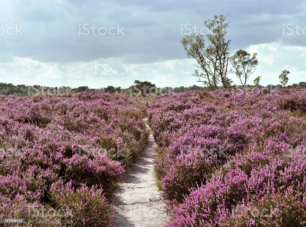 Path through a heather landscape in bloom, Kalmthoutse Heide, Belgium royalty-free stock photo