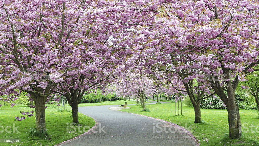 Path through a park with blooming cherry blossoms stock photo