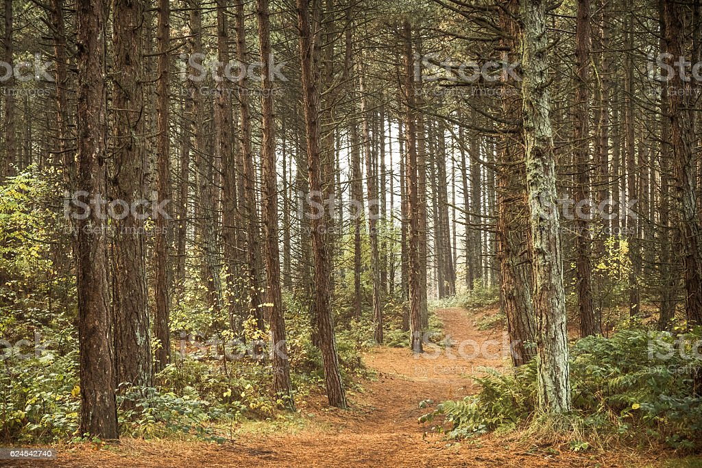 Path through a pine tree forest stock photo