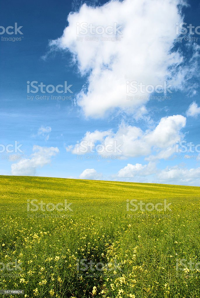 Path through beautiful rape filed with fluffy clouds royalty-free stock photo