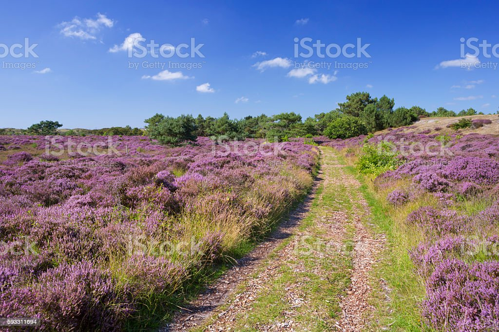 Path through blooming heather in The Netherlands stock photo