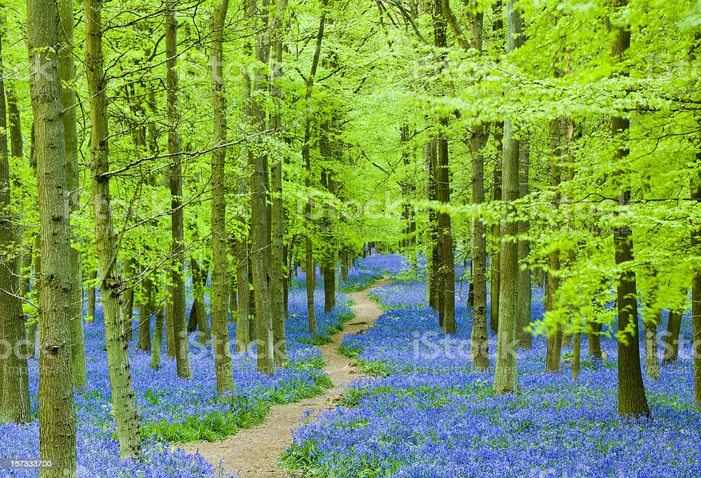 Path through blue flowers in a beautiful forest stock photo