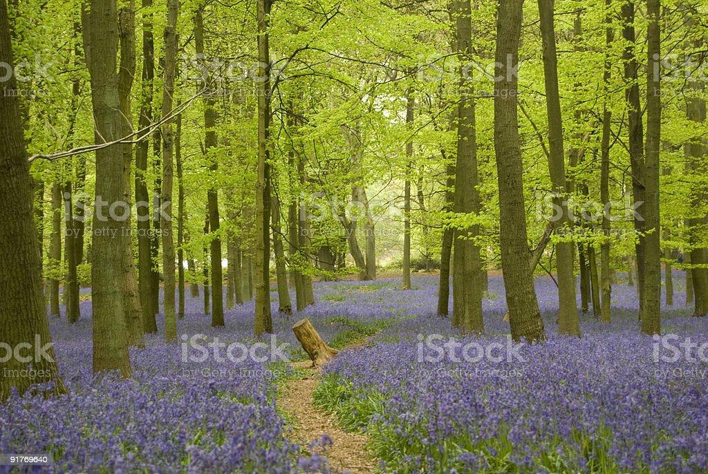 Path through Bluebell wood stock photo