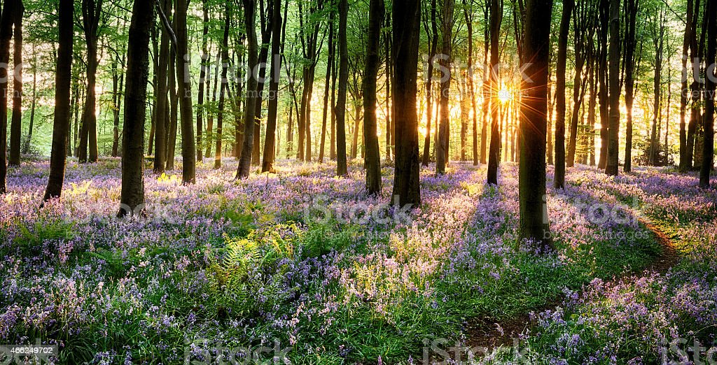 Path through bluebell woods stock photo