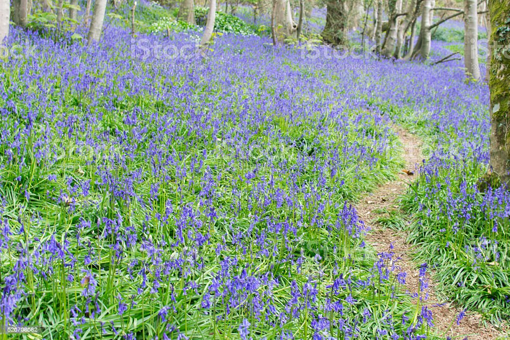 Path through bluebells stock photo
