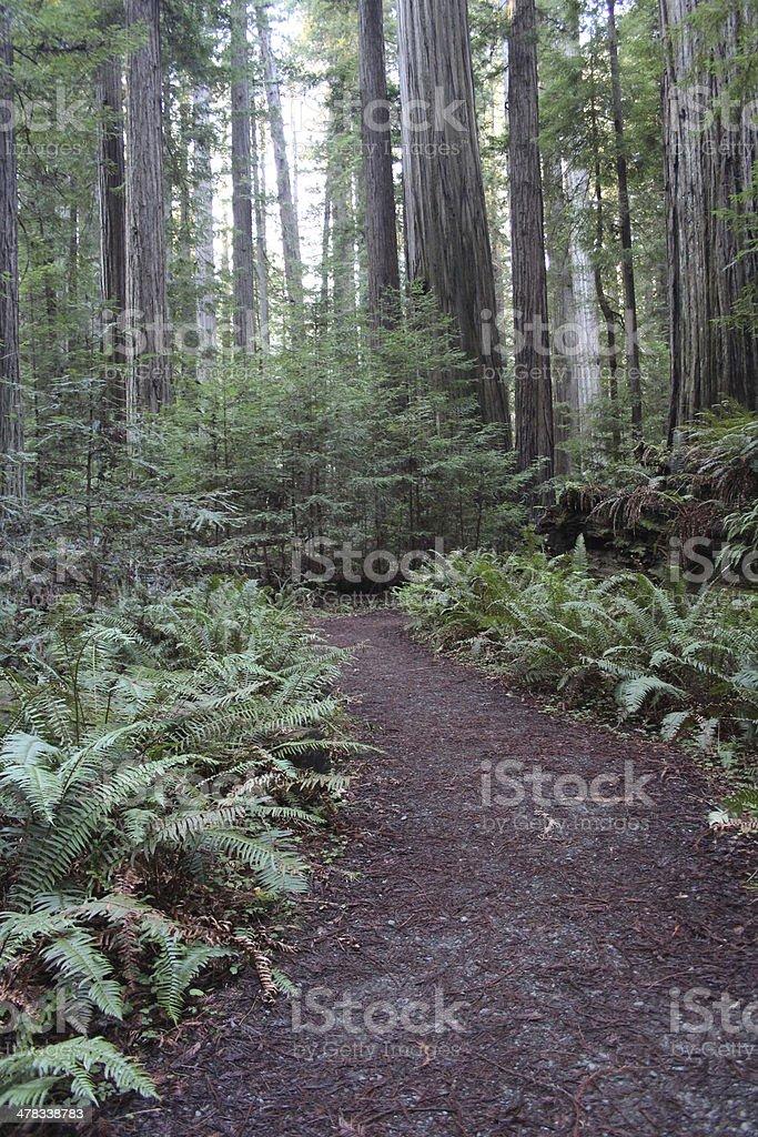 Path Through California Redwood Forest stock photo