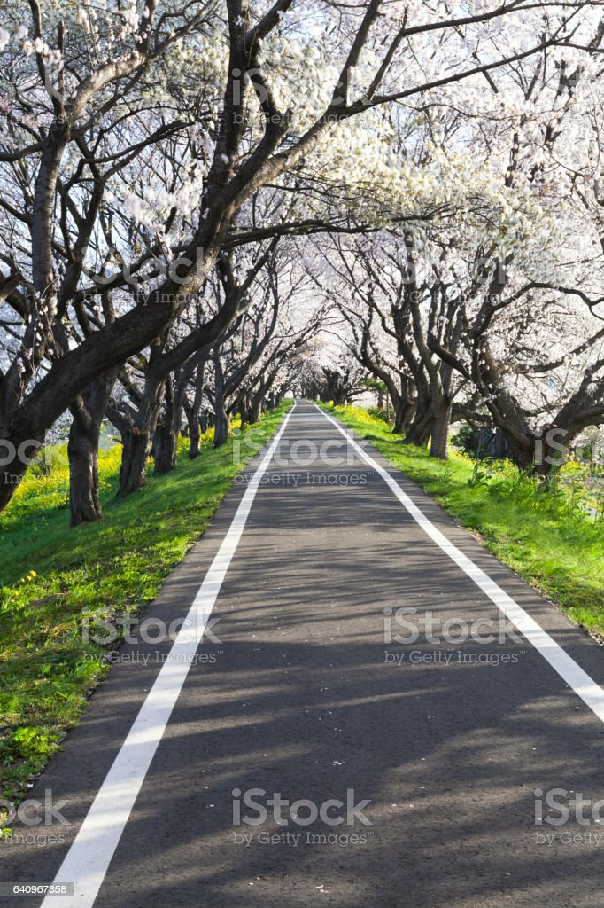 Path Through Cherry Blossom Trees in Spring stock photo