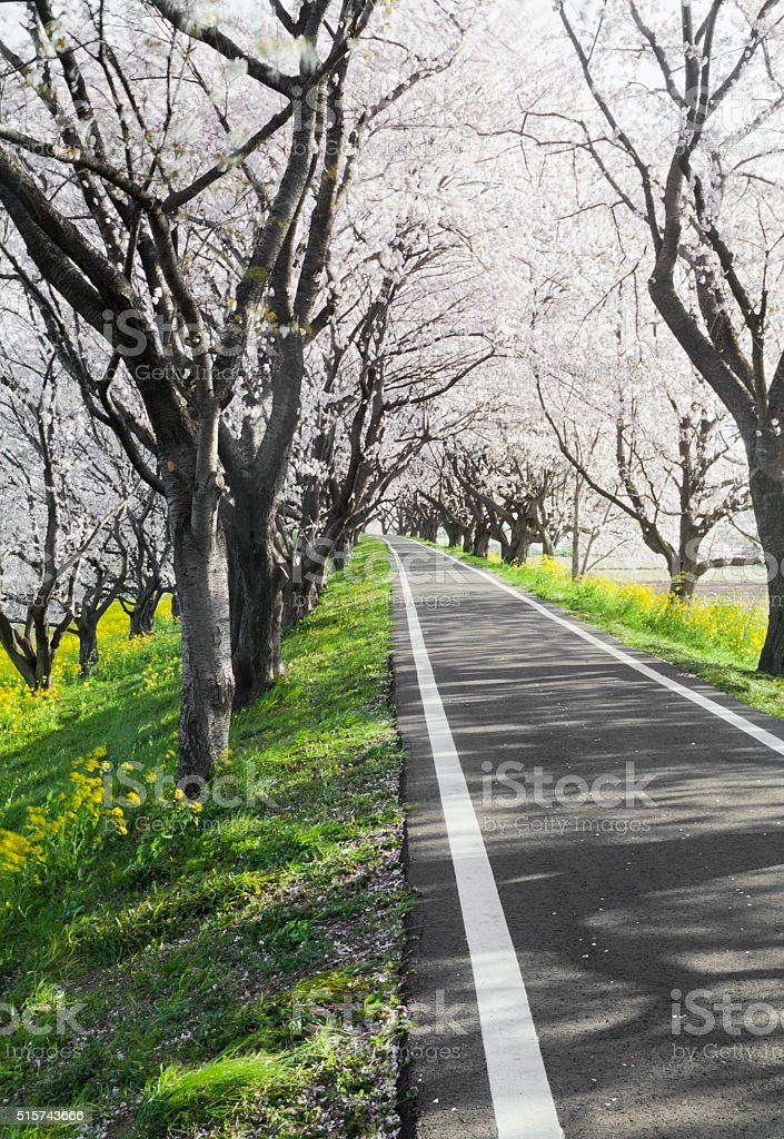 Path Through Cherry Blossoms Trees stock photo