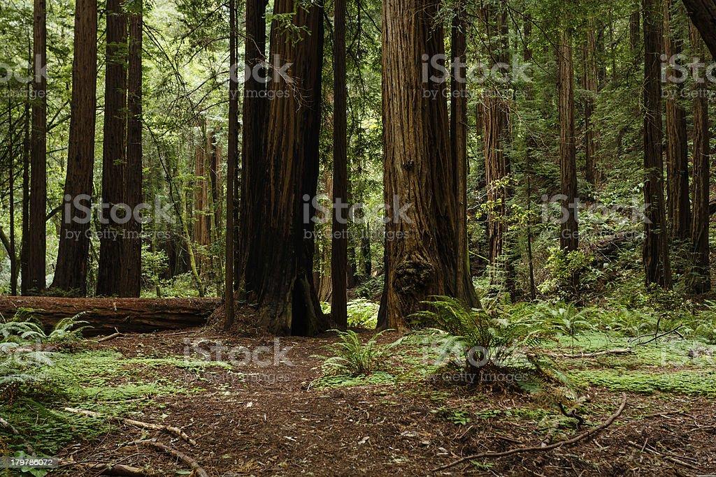 Path through coastal redwood trees Muir Woods National Monument royalty-free stock photo