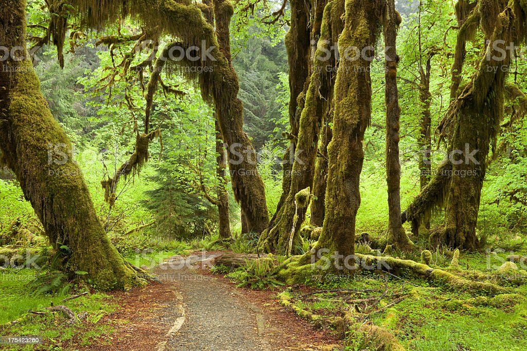Path through lush Hoh Rainforest in Olympic National Park, USA stock photo