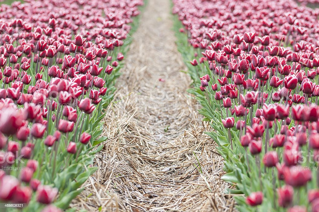 Path through pink tulips field royalty-free stock photo