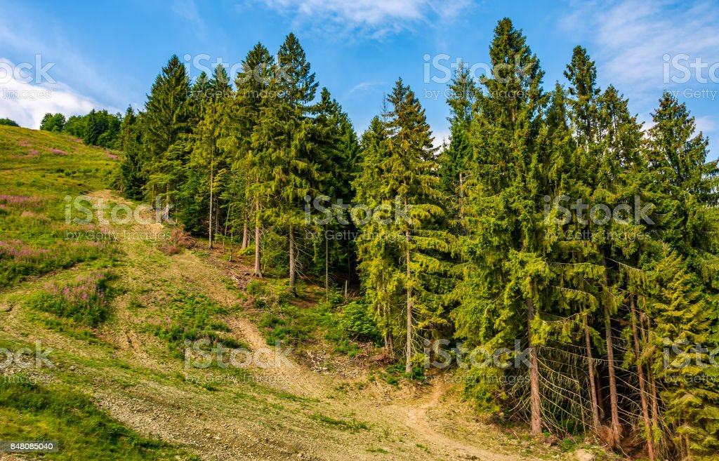 path through spruce forest on hillside stock photo