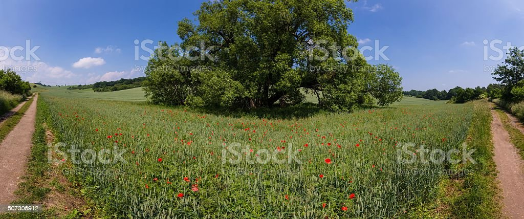 path through summer fields with red poppies and blue sky stock photo