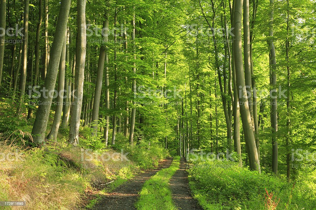 Path through Sunny Beech Forest royalty-free stock photo
