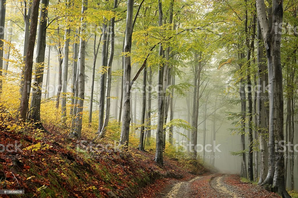 Path through the beech forest stock photo