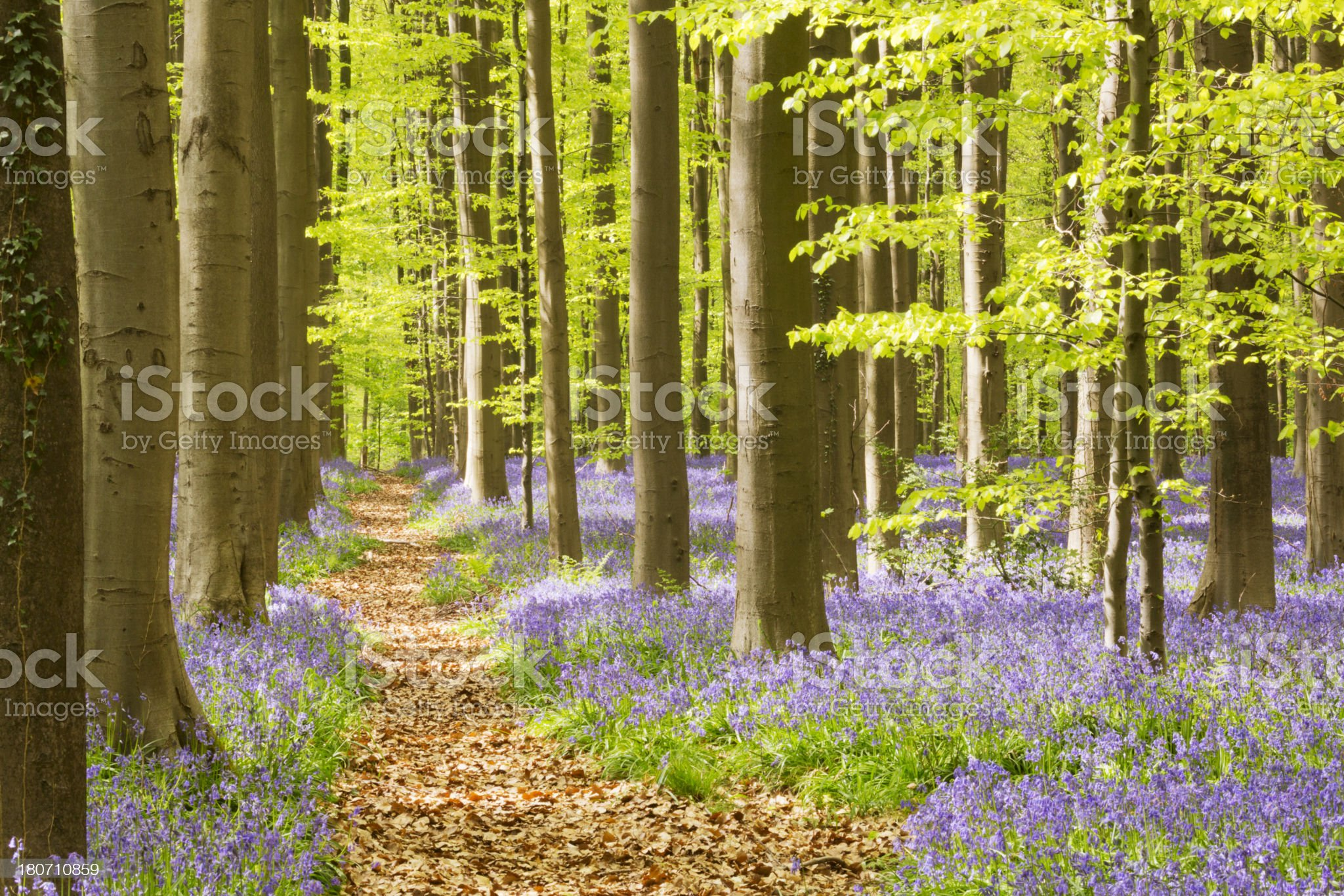 Path through the blooming bluebell forest of Hallerbos in Belgium royalty-free stock photo