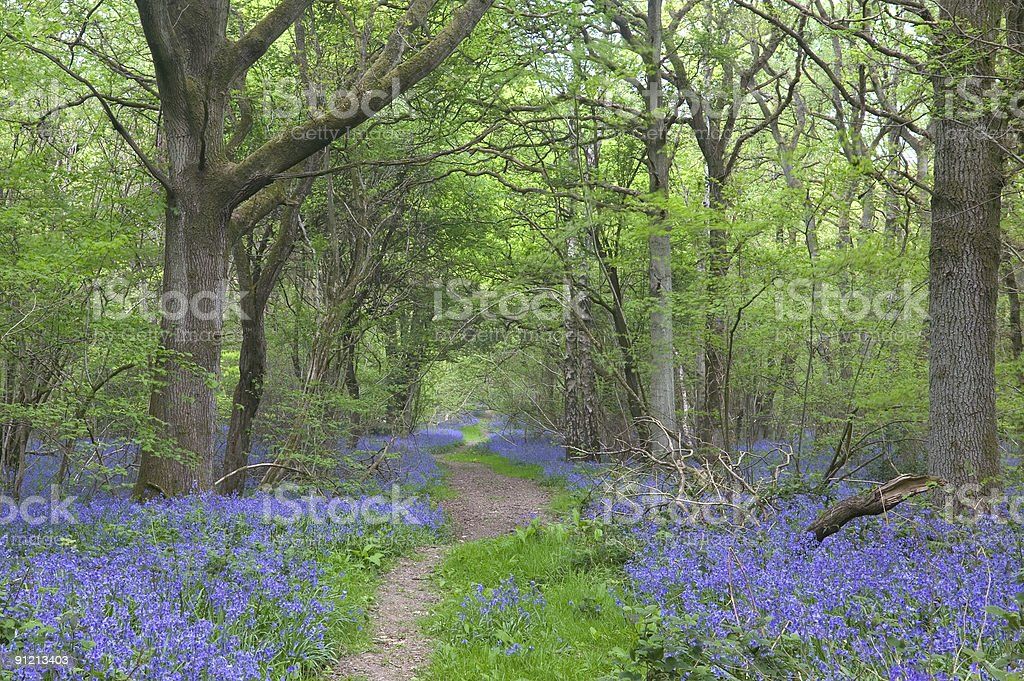 Path through the bluebells royalty-free stock photo
